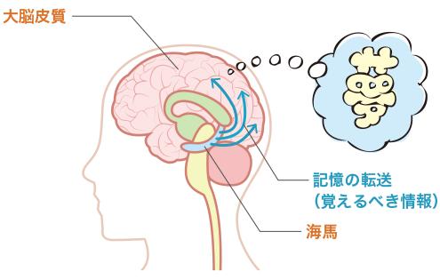 海馬と大脳皮質