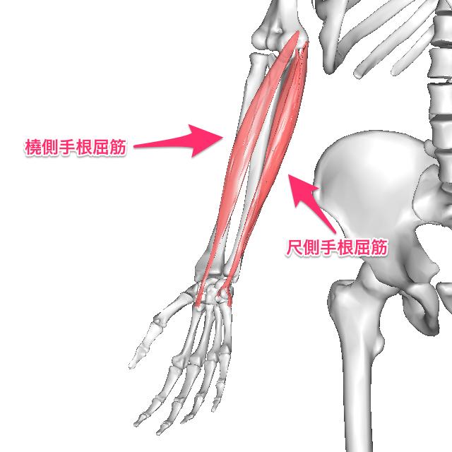 手関節の拮抗筋